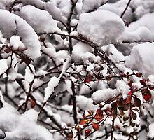 Snow covered Bush by brijo