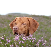 Hide and seek by vizslas