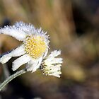 Frosty daisy in sunlight by Susanna Hietanen