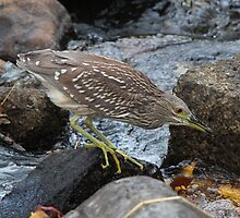 Juvenile Black-crowned Night Heron by hummingbirds