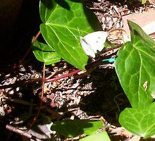 Cabbage Moth Three - 23 10 12 by Robert Phillips