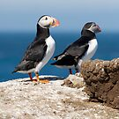 Puffins by Mark Prior
