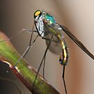 Long Legged fly by David Toolan