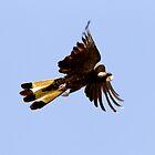 Yellow-Tailed Black-Cockatoo  1 by John Van-Den-Broeke