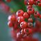 Pyracantha Berries  by marens