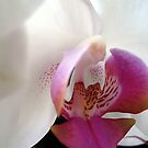 White Phals Orchid by gregAllore