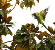 Wild African Ring Necked Parakeets by DARRIN ALDRIDGE