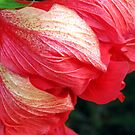 Hibiscus Opening by gregAllore