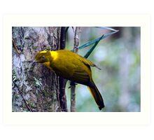 The Golden Bower Bird Art Print