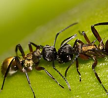 Golden-tailed Spiny Ant by Shelley Warbrooke