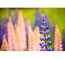 Lupin Flowers, Norway Photographic Print