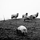 Sheep by Dean Gale