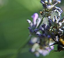 Bee on lavanda flower by gluca