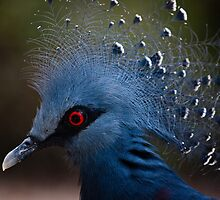 Blue Crowned Pigeon by Denise Worden