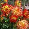 Dahlias in RHS Wisley by Keith Larby