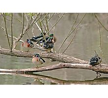 Wood Duck Males Photographic Print