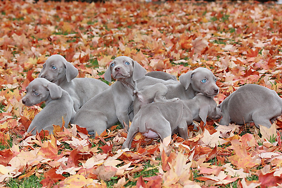 Weimaraner Puppies by DebbieCHayes