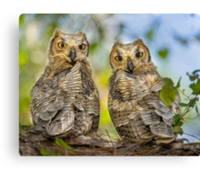 Great Horned Owlets Canvas Print