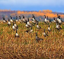 HDR Canadian Geese Autumn by Jamie Roach