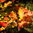 Maple leaves - Orton-ized by PhotosByHealy