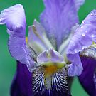 Iris by mooksool