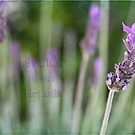 Textured Lavender by Astrid Ewing Photography