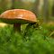 Little brown boletus  by steppeland