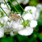 Ghost Spider and Spirea Blossoms by MotherNature