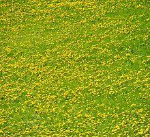 See of dandelion by Domenic Herberz