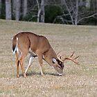 Whitetail Buck by ewersphoto