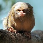Pygmy Marmoset by Stephanie Ohnesorge