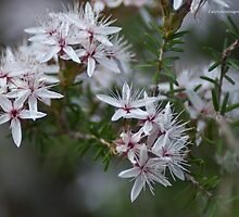 Calytrix tetragona by garts