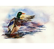 Sitting Duck Photographic Print