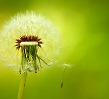 A Dandelion Blown By The Wind by Kuzeytac
