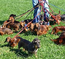 Dachshunds Galore by Bine