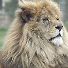 close up Lion by uptzphotography