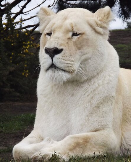 white lion  by uptzphotography