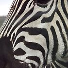 zebra close!  by uptzphotography