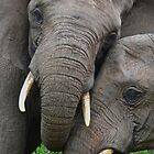 """Just Married"" (Loxodonta africana) by DebbyTownsend"