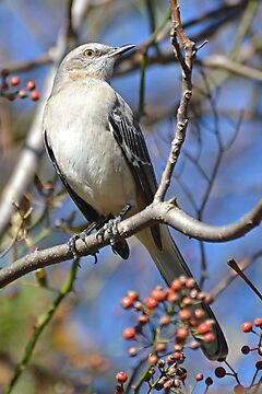 Beautiful Northern Mockingbird by William Brennan