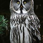 The Great Grey Owl by Alan Harman