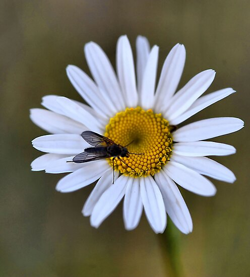 A Daisy A Day by Bev Woodman
