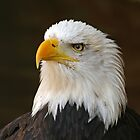 Bald Eagle by Daniel Loxley Warwood