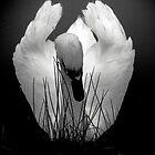 Elegant Swan by Daniel Loxley Warwood