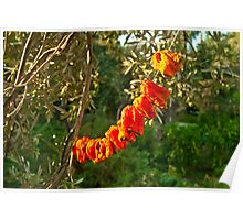 Organic Bell Peppers Hanged To Sun Dry  Poster