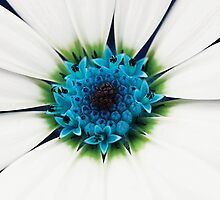 White petals by Anne Staub