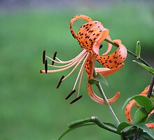 Tiger Lily! by Rose Landry
