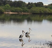 Kingscliff pelicans by Ron Finkel