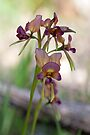 Another Pansy Donkey orchid. by Leonie Mac Lean