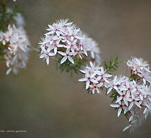 Common Heath Myrtle by garts